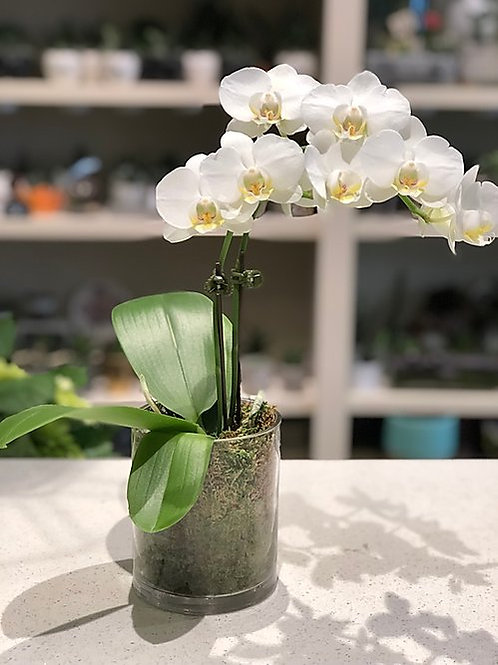 Mini Orchid - Single