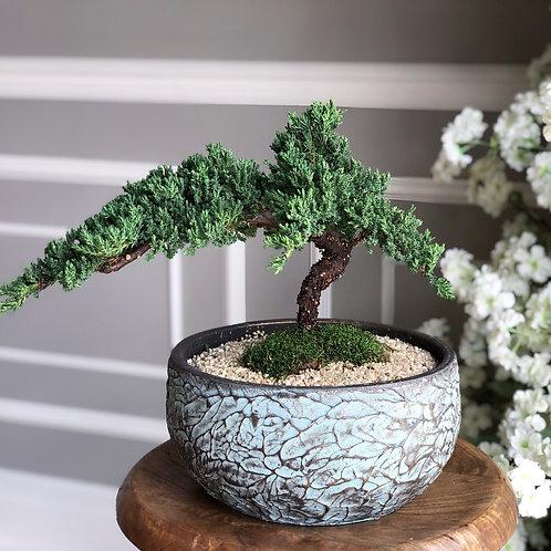 Bonsai (Juniper)