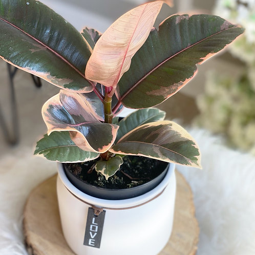 Ruby Rubber Plant