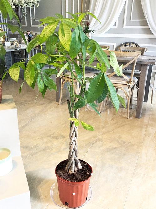 Money Plant (4FT Tall)