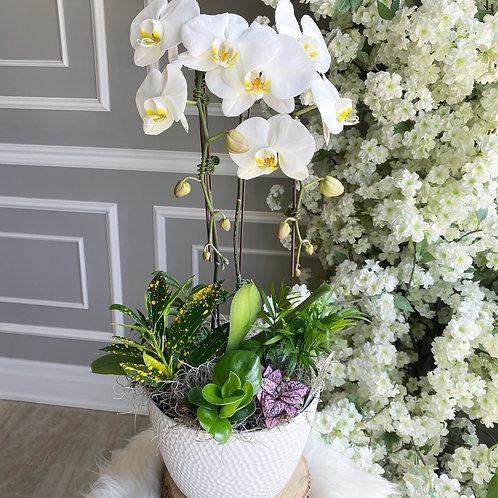 Love Orchid