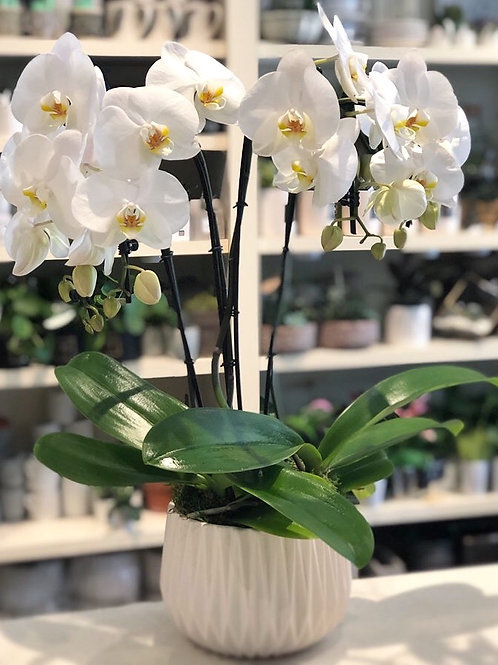 White Cascade Single Orchids (4 Stems)