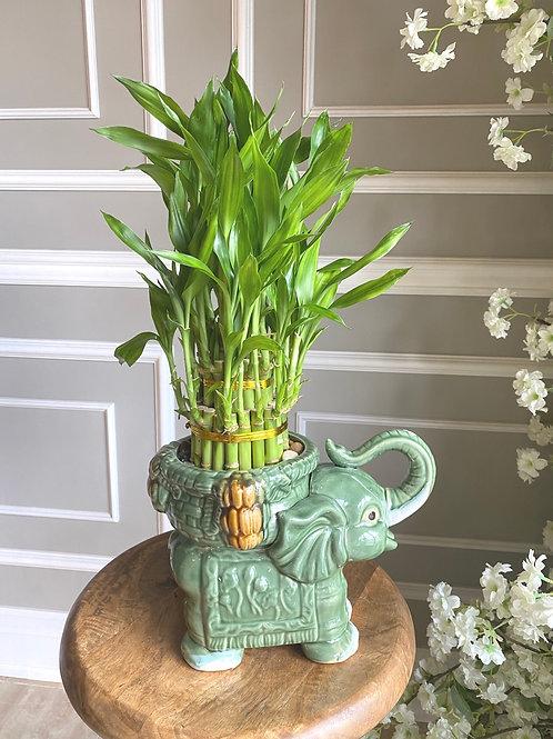 Lucky Bamboo #2