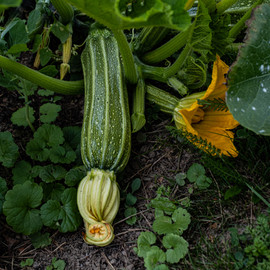 Courgette italienne