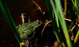 Nos grenouilles rieuses