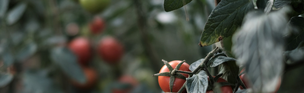 Nos bonnes tomates