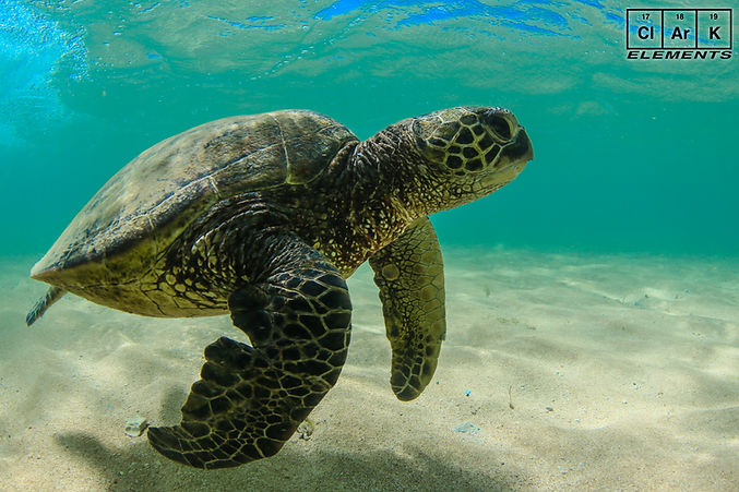 clark-kauai-babysit-bcxultra-rife-turtle