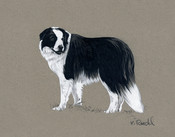 """Riley"" (Border Collie)"