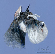 Fine art portrait of a Schnauzer, a head study done in colored pencil