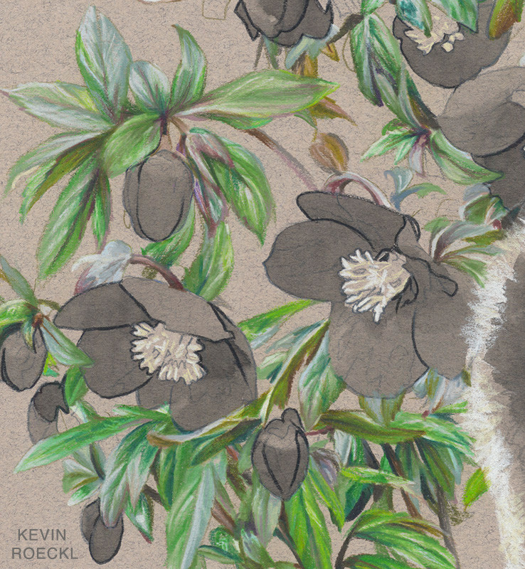 Close-up of hellebore flowers portrayed with watercolor and colored pencils, in progress