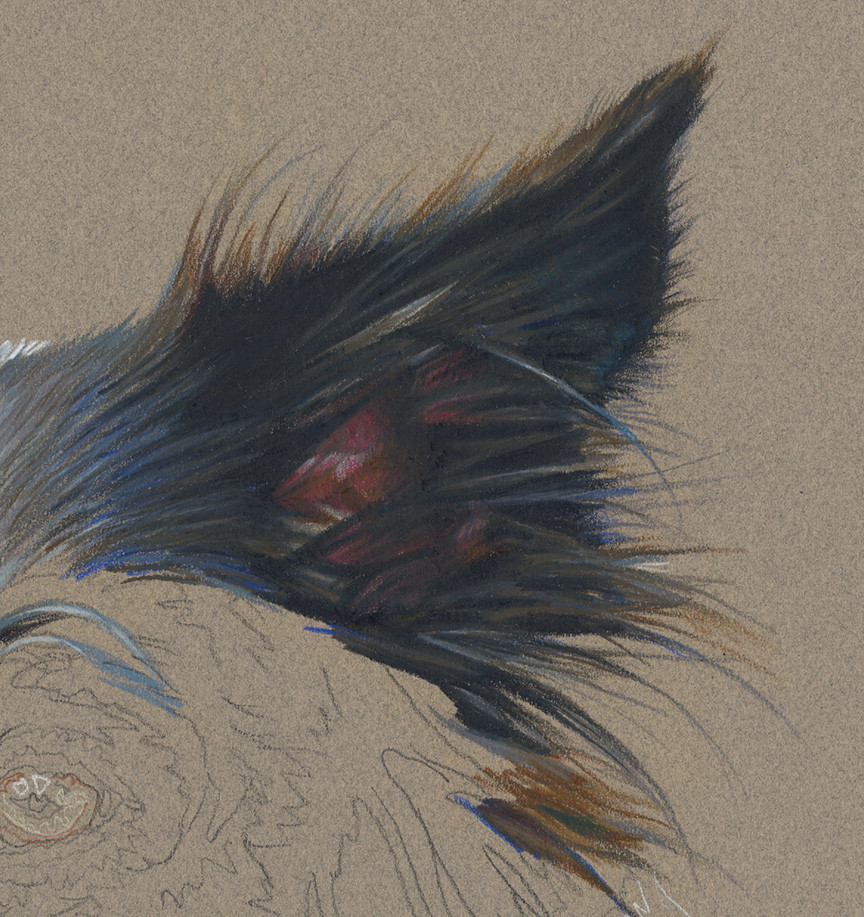 Detail of colored pencil portrait of Border Collie in progress