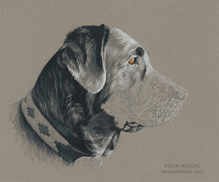 Grisaille colored pencil portrait of a black Lab, Labrador Retriever dog, in progress