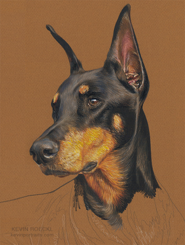 Close-up of colored pencil portrait of a black Doberman on golden-brown Canson paper, in progress