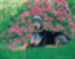 Fully detailed portrait, Doberman in garden scene