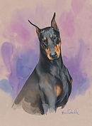 Head study portrait, Doberman with colored background