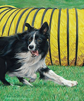 Fine Art portrait of a Border Collie doing Agility