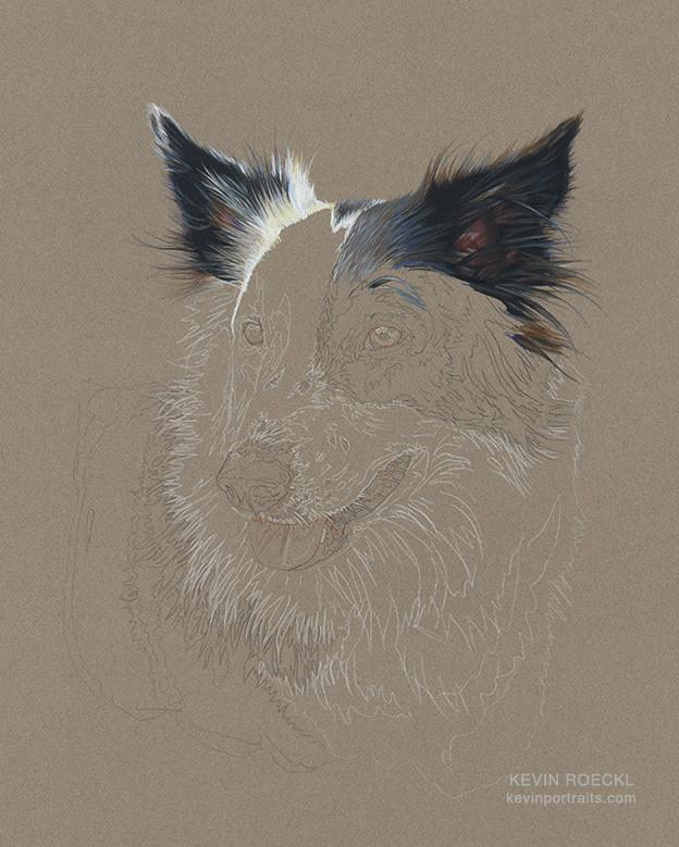 Colored pencil portrait of Border Collie in progress