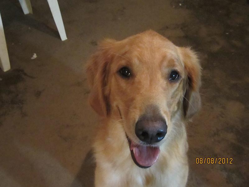 Client's photograph of Golden Retriever Service Dog