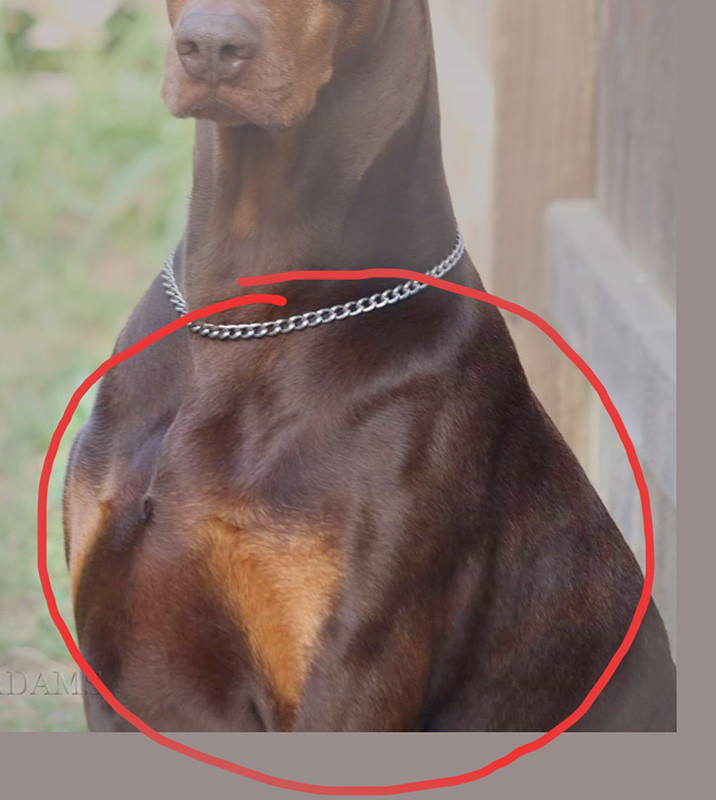 Reference photo of red Doberman