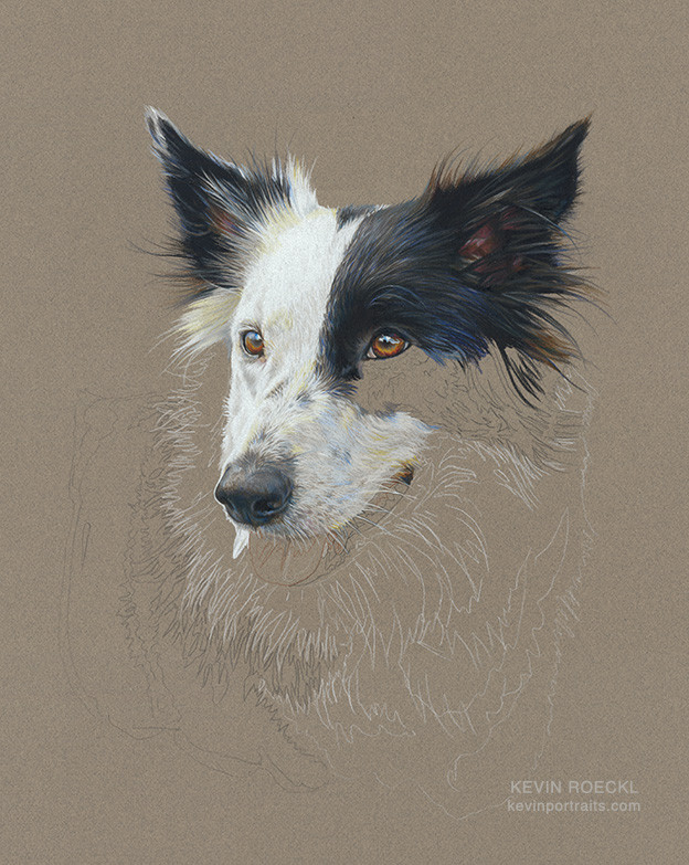 Prismacolor pencil portrait of a Border Collie, in progress