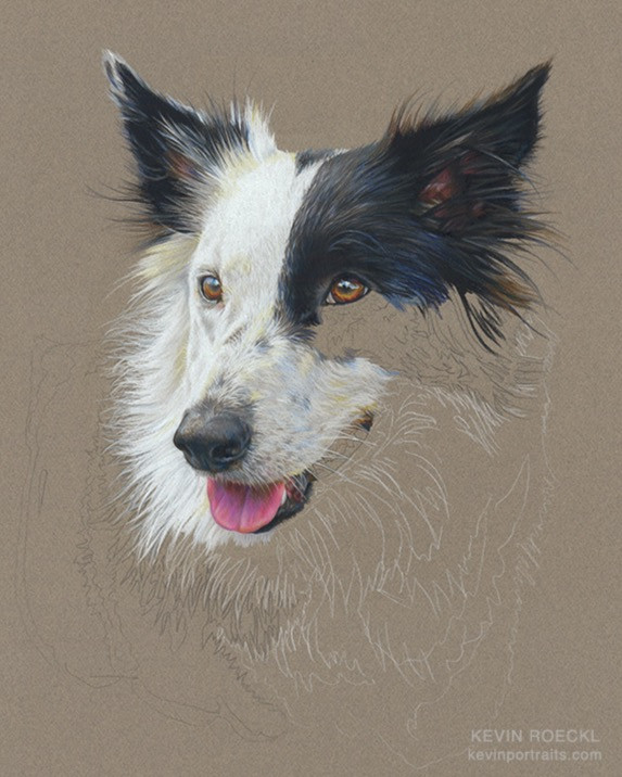 Prismacolor pencil portrait of a Border Collie dog, in progress