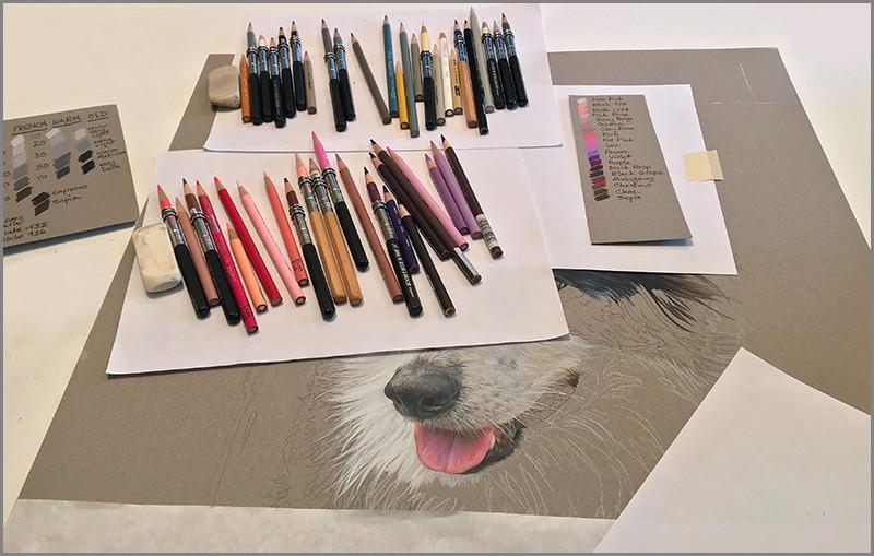 Prismacolor pencils and fine art portrait of a Border Collie dog, in progress