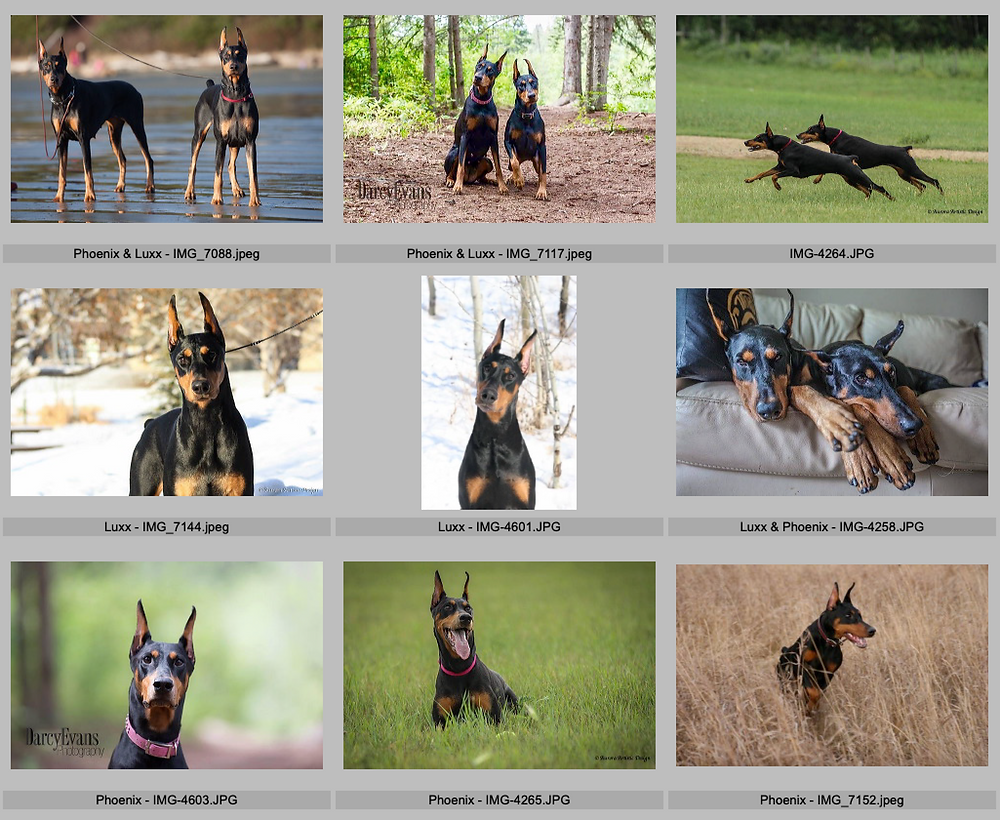 client's photos of her female Dobermans