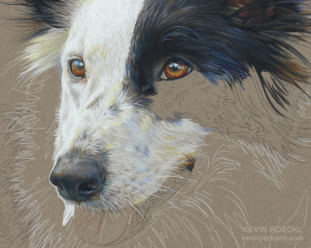 Detail of a colored pencil portrait of a Border Collie, in progress