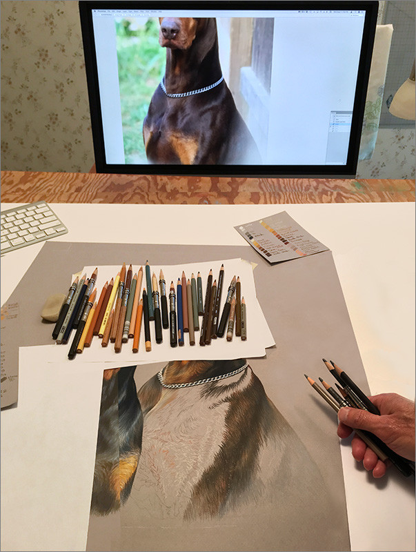 Colored pencil portrait of black Doberman and red Doberman in progress in Kevin's studio, with colored pencils and reference photo