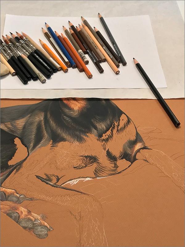 Colored pencil portrait of a Doberman, in progress in Kevin's studio