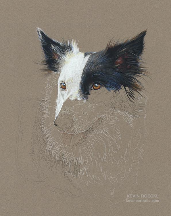 Prismacolor pencil head-study portrait of Border Collie, in progress