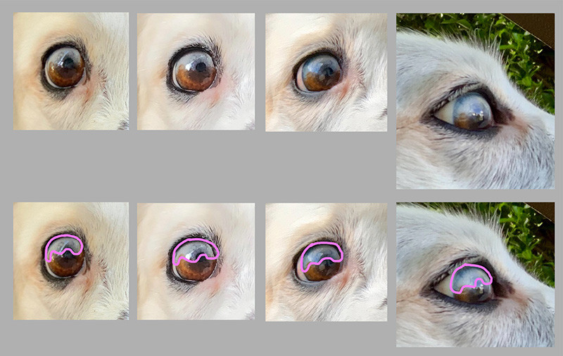 Reference photos of Border Collie's eye for portrait