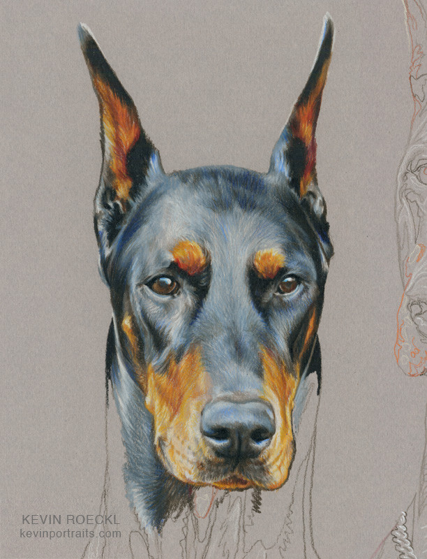 Colored pencil head study portrait of black Doberman, in progress