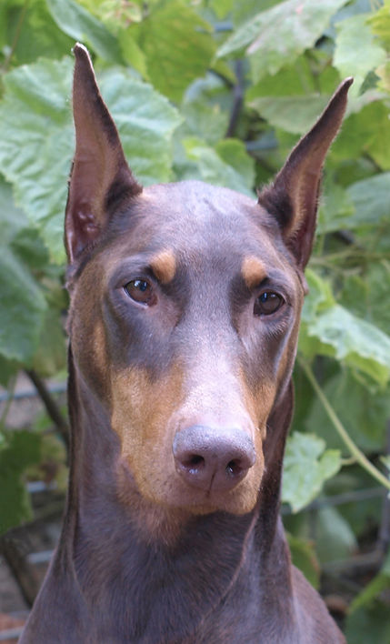 Good reference photo of a red Dobeman with sharp detail