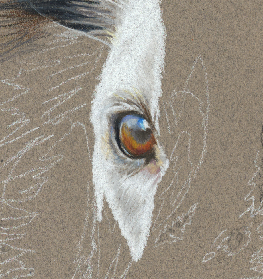 Detail of colored pencil portrait of a Border Collie dog