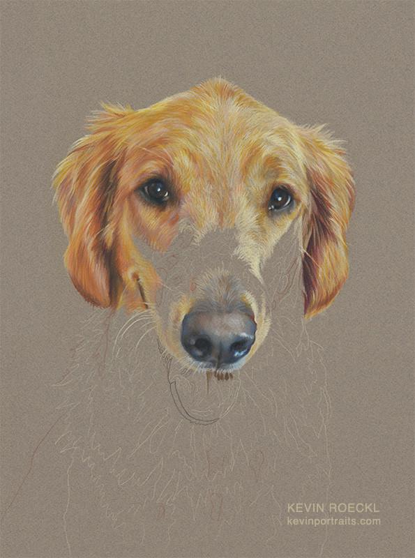 Colored pencil portrait of  Golden Retriever Service Dog, in progress