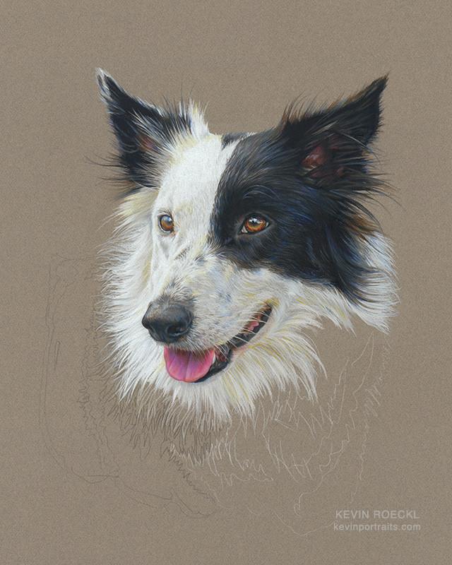 Colored pencil portrait of a Border Collie dog, in progress