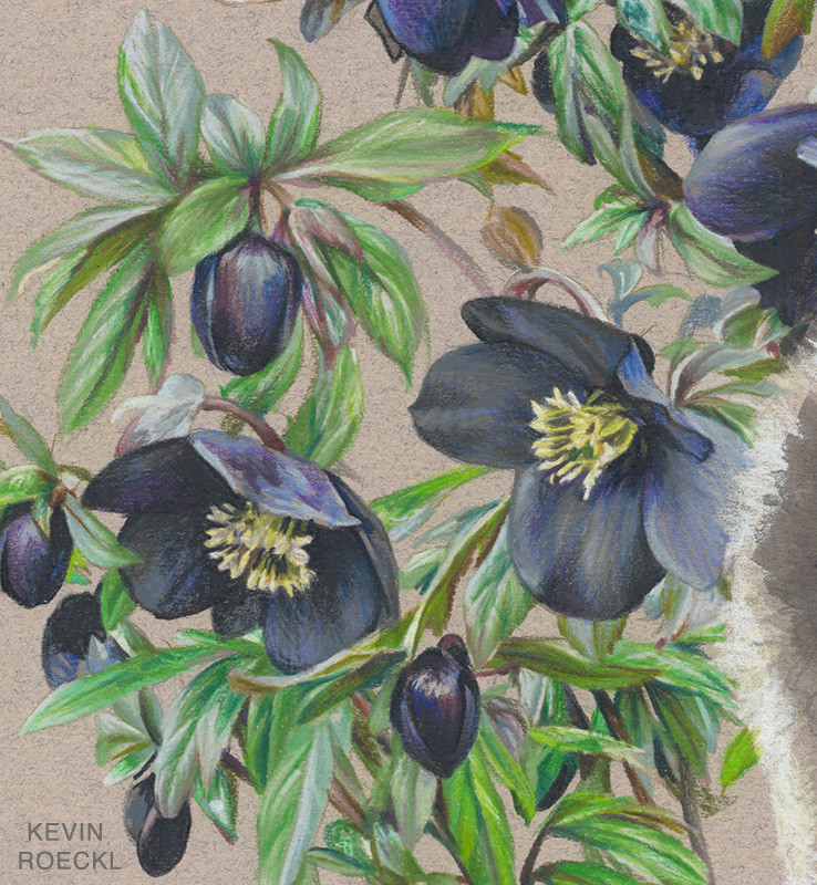 Close-up of hellebore flowers portrayed with watercolor and colored pencils