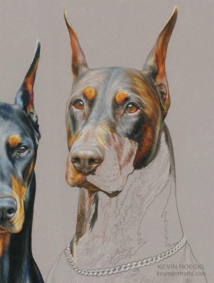 Colored pencil portrait of black Doberman and red Doberman, in progress