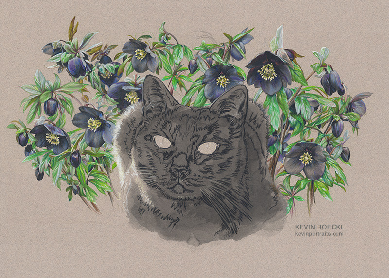 Colored pencil and watercolor ortrait of black cat with hellebore flowers, in progress