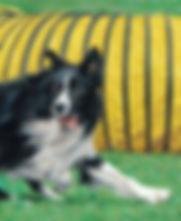 Fine art portrait painting of Border Collie dog