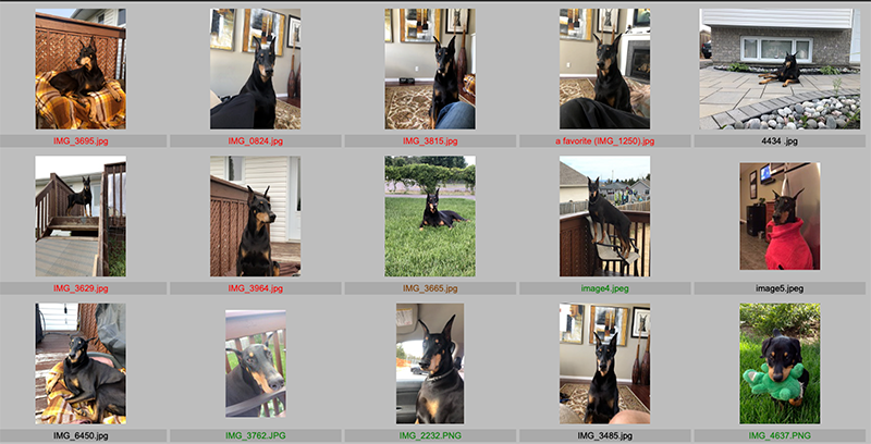 Client's reference photos of for a portrait of his Doberman