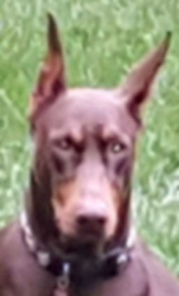 Blurry photo of a red Dobeman with poor detail