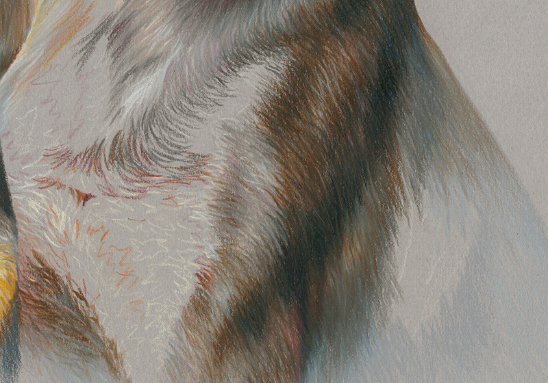 Close-up of colored pencil portrait of red Doberman, in progress