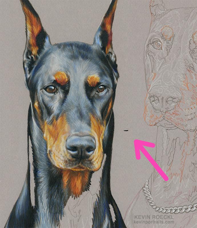 Colored pencil portrait of black Doberman, in progress