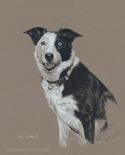 """Daisy Bleu"" (Border Collie)"
