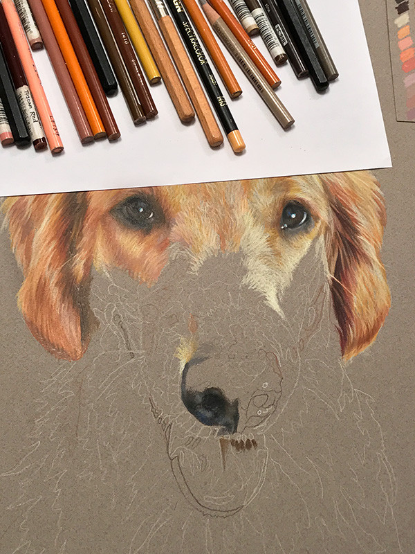 Portrait of  Golden Retriever dog in progress, with colored pencils