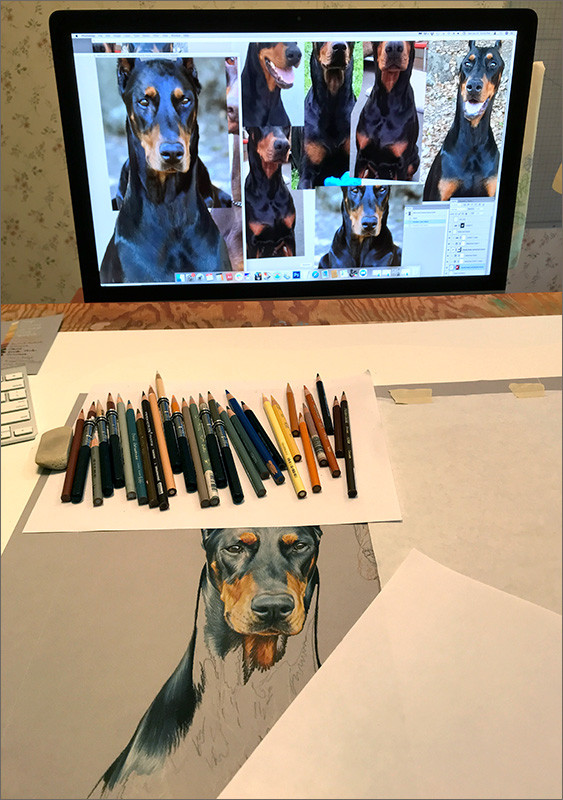 Colored pencil portrait of black Doberman in progress in Kevin's studio, with reference photos on the monitor