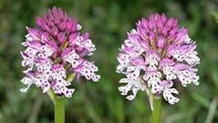 Escursionismo Orchidee del Mugello