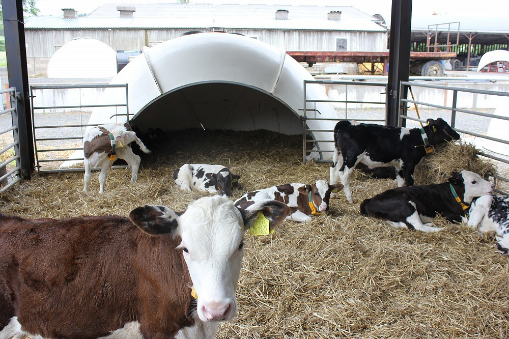 Calf feeding and nutrition
